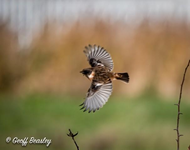 Stonechat mid-flight. Credit Geoff Beasley