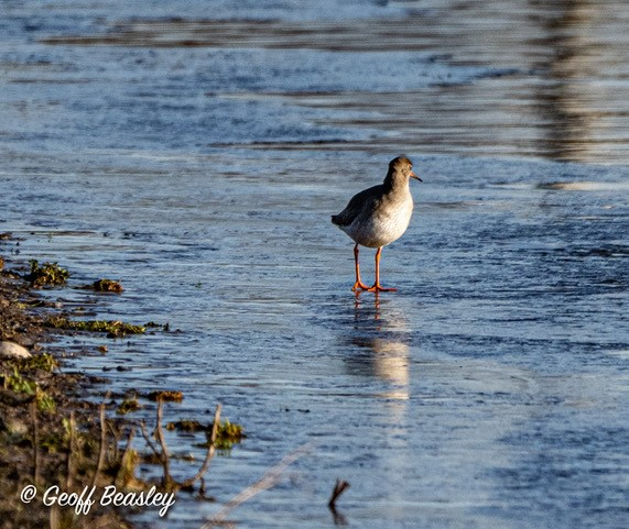 Redshank wading in water. Credit Geoff Beasley