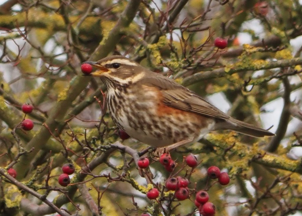 Redwing. Credit: Steve Smith