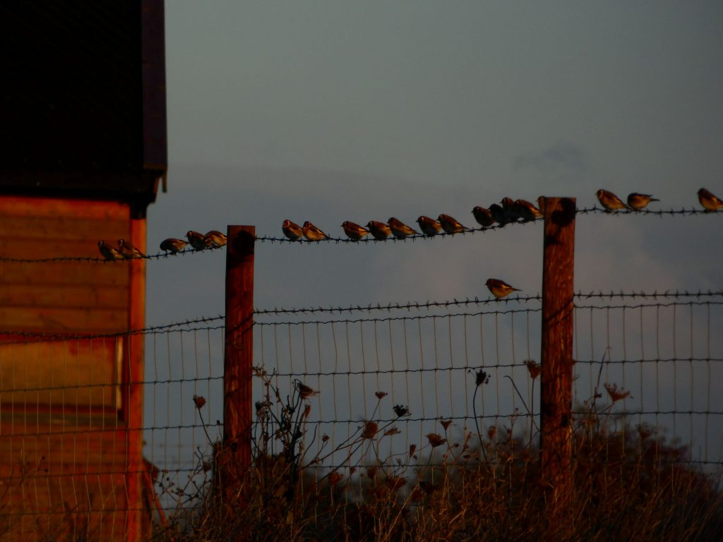 Goldfinches sitting on a wire